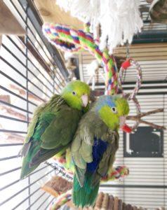Pacific parrotlet couple