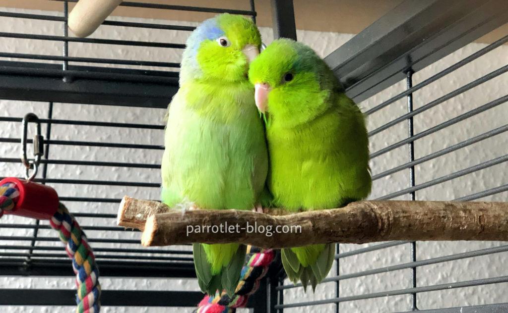 Parrotlet sleeping perch