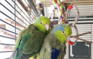 What is a Parrotlet?