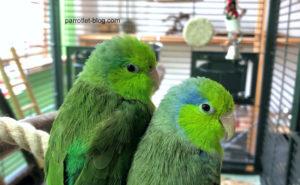 Cage Setup for Parrotlets